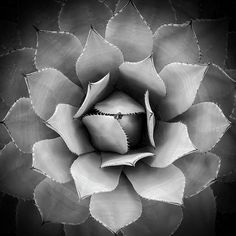Agave in Phoenix Desert Botanical Garden, Arizona. Desert Botanical Garden, Botanical Gardens, Black And White Photography, Fine Art Photography, Beautiful Images, Fine Art America, Instagram Images, Profile Pictures, Wall Art