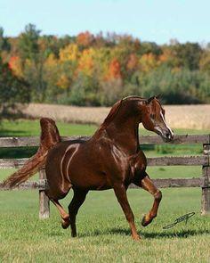 Khadraj NA; 1991 chestnut Arabian stallion (*Ponomarev x Khatreena NA)