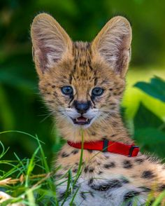 Meet Naples Zoo's new Serval cat kittens!  Today on ZooBorns: http://www.zooborns.com/zooborns/2014/06/meet-baku-and-cleo.html