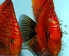 discus symphysodon - Pesquisa Google Home Aquarium Fish, Freshwater Aquarium Fish, Parrot Fish, Discus Fish, Water Life, Angel Fish, Beautiful Fish, Cichlids, Ocean Life