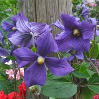 clematis on pinterest clematis varieties clematis vine. Black Bedroom Furniture Sets. Home Design Ideas