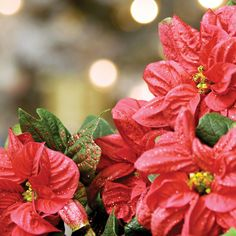 Invest in New Holiday Plants Every Year, Or Prepare to Invest Plenty of Time - Emerald Coast Magazine - December - January 2013  #Gardening #Planting #Plants #CompanionPlanting #GreenThumb #Garden #Green #GreenLiving #Poinsettia #Holidays