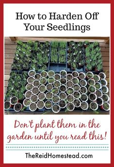 How to Harden Off Your Seedlings How to Harden Off Your Seedlings,Vegetable garden Related posts:How to grow perennial vegetable gardening tips every new food gardener needs to knowSuper Fruit Garden Design Pots IdeasHow. Veg Garden, Garden Seeds, Garden Cottage, Garden Plants, Vegetable Gardening, Veggie Gardens, Garden Sofa, Flowers Garden, Shade Garden