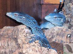 Blue Tree Monitor Lizard | Available Blue Tree Monitor Lizards