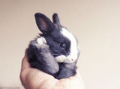 Ball of fur: He can hold the entire bunny in his hand and the cuteness of the little black...