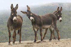 Previous pinner said: Wild burros...can they be any cuter... Me: Nope! Cutest things on the planet!