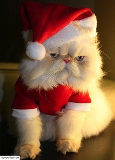 Chat Persan blanc qui porte un beau costume de Père Noël