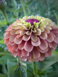 The most awesome zinnias ever!!