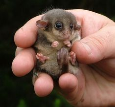 Eastern Pygmy Opossum is a nocturnal marsupial that has a brilliant little prehensile tail that allows it to grip branches, making for easy travel through bushes.