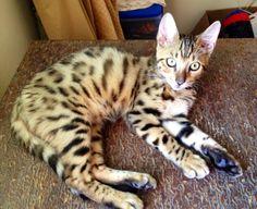 Coco Bengal cat in Qatar