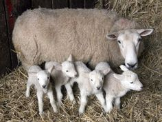 an ewe and her four lambies!
