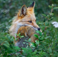 Predator and Prey, Red Fox