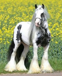 Some people call them Gypsy Vanners, but the actual name is Gypsy Horse. Vanner is an unwelcome name and the original breeders of the Gypsy horses does NOT like this word. Big Horses, Cute Horses, Horse Love, Pretty Animals, Animals Beautiful, Cute Animals, Most Beautiful Horses, All The Pretty Horses, Clydesdale Horses