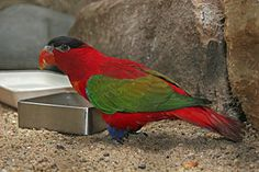 The Purple-naped Lory (Lorius domicella) is a monotypic species of parrot in the Psittaculidae family.[2] It is forest-dwelling endemic to the islands of Seram, Ambon, and perhaps also Haruku and Saparua, South Maluku, Indonesia. It is considered endangered, the main threat being from trapping for the cage-bird trade.