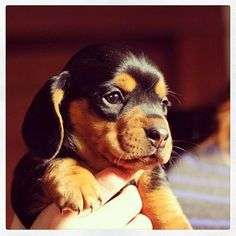 Tiny little Dachschund puppy! Such an adorable doggy. Thanks to @Ryan Sullivan Sullivan Sullivan Sullivan Steele for posting! #dachshund #dog #puppy