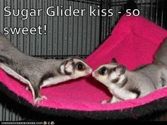 Sugar Glider kiss - so sweet!