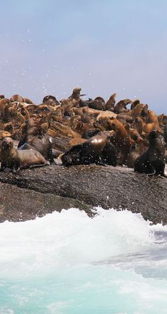 Seal Island | O que fazer em Cape Town. Os pontos turísticos, restaurantes, onde se hospedar, que vinícolas visitar, dicas de guia e roteiro completo de 4 dias. Como ir e curiosidades.