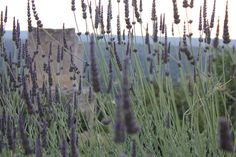 Our own field of lavender popping up in Koita!