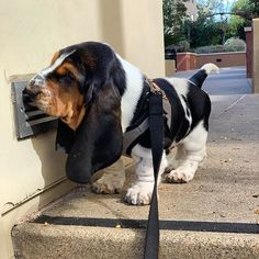 Would you like to ORDER Basset Hound T -shirts? Would you like to ORDER Basset Hound T -shirts? Please check the link in my bio (profil) to order it by Baby Basset Hound, Basset Puppies, Hound Puppies, Cute Puppies, Dogs And Puppies, Baby Dogs, Pet Dogs, Doggies, Sherlock Holmes