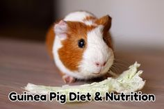 The following guide will show you everything you need for a balanced guinea pig diet including what pellets to feed, fruits and vegetables that guinea pigs can eat, types of hay, and information on Vitamin C supplements for your pigs. A surprisingly challenging aspect of owning a guinea pig is providing them with an appropriate …
