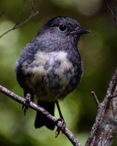 faraway friend. #newzealand#fiordland#southislandrobin#discovernewzealand#birdland#predatorfreenz#farawaynz