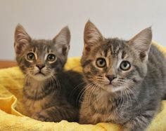 Brothers Bob and Ted, and sisters Carol and Alice, are adorable babies debuting for adoption today at Nevada SPCA (www.nevadaspca.org).  The kittens love playing hide-and-seek, sleeping close right on your pillow, and watching TV.  Since their rescue they have been lovingly raised and socialized in a wonderful foster home.  They are now 3 months of age, spayed/neutered, and ready for indoor-only, forever homes.