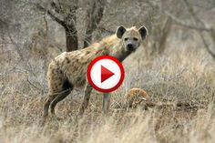 Awesome Vid Of Hyenas That Attack Lion Video #animals, #Africa, #lions, #videos, #pinsland, https://apps.facebook.com/yangutu
