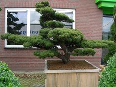 Japanese White Pine bonsai - Pinus parviflora bonsai