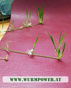 """""""never surrender"""" ✊ Die Pflanze versucht sich über eine, nicht so oft benutzte Jogamatte 😂 zu verbreiten. Die Mutterpflanze hat natürlich Wurmhumus dabei 🙂. #wurmpower #wurmhumus #wurmkompost #wien #www.wurmpower.at Instagram Posts, Earthworms, Plants"""