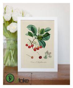 "Vintage illustration of cherries -  fine art print, botanical art, home decor 8""x12"" 8"