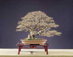 Bonsai Art, Bonsai Trees, Dandelion, Beautiful, Flowers, Nature, Plants, Formal, Image