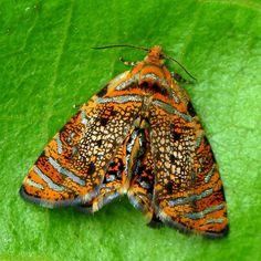 Pretty little Metalmark Moth, via Flickr.