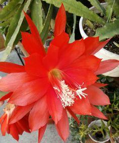 Borgia, epiphyllum.