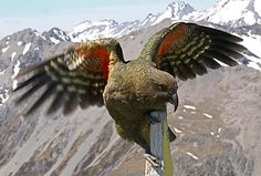 A Kea at Avalanche Peak, New Zealand. One of the smartest birds known.