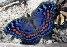Gaudy Commodore butterfly, found from the border region of the Eastern and Western Cape in South Africa and along the eastern side of South Africa, to Swaziland, Mozambique, Tanzania and Kenya.