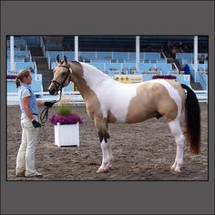 Dutch Warmblood Stallion. Andddd I've always wanted a buckskin paint.. Perfect horse right here.
