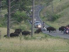Custer State Park, Black Hills, SD--Black Hills Motorcycle Rides...wild life loop is my favorite drive. I would not do it on a motorcycle, but have in a PT cruiser convertible top up.