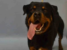 SAFE - 01/14/16 - BUSTER - #A1062667 - Urgent Manhattan - MALE BLACK/TAN ROTTWEILER MIX, 2 Yrs - STRAY, NO HOLD Intake 01/10/16 Due Out 01/13/16 - VERY NERVOUS & TENSE