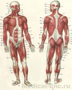 мышцы человека в картинках