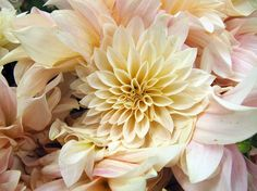 The dahlia season is coming to an end, but we could just get lost in these Cafe au Lait beauties from Figone Nursery