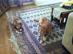 Here is Buddy sharing a bone with Olive.  Buddy is very friendly and accommodating, he will share anything with his new friends except maybe a rib-eye.  But you really can't blame him for that, can you?