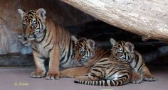 Three adorable Tiger cubs we saw at the Omaha Zoo in Nebraska!