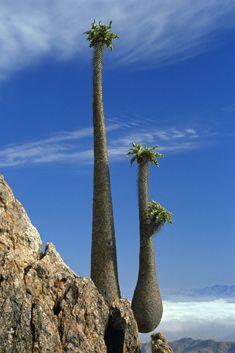 Halfmens plant  -  'half human' - Pachypodium namaquanum - plant of the arid Northern Cape