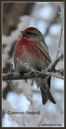 Redpoll, RM Montmartre, SK, Mar 2018. Source: Anita Mae Draper Different Birds, Kinds Of Birds, Bird Pictures, Animal Pictures, Cute Birds, Birdwatching, Heavens, Bird Feathers, Beautiful Birds