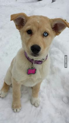 This is my Goberian, or Golden Retriever / Siberian Husky. Perfect mix.