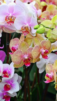 orchids_flowers_colorful_different_close-up_34089_640x1136 | by vadaka1986