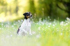 Wir hatten im April ein tierisches Fotoshooting mit einem ziemlich quirligen Brasilianischen Terrier namens Barny im Grütt Park in Lörrach.