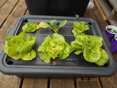"""The Sustainable Living Center is using a new technique that allows you to grow lettuce hydroponically without electricity, pumps, or wicks of any kind.  It's is a completely """"hands off"""" growing technique."""