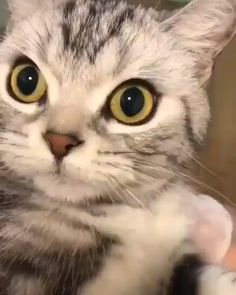 How cute is she Funny Cat Images Video Memes Quotes For Cat Lovers Cute Cat Video cat t shirts Cute Cats And Kittens, I Love Cats, Cool Cats, Kittens Cutest, Cute Cat Gif, Cute Funny Animals, Cute Baby Animals, Funny Cat Images, Funny Cat Videos