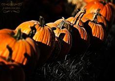 Pumpkin lined hay bales